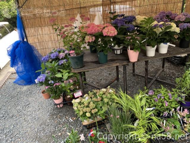龍尾神社(静岡県掛川市)の花庭園のお土産売り場のあじさい