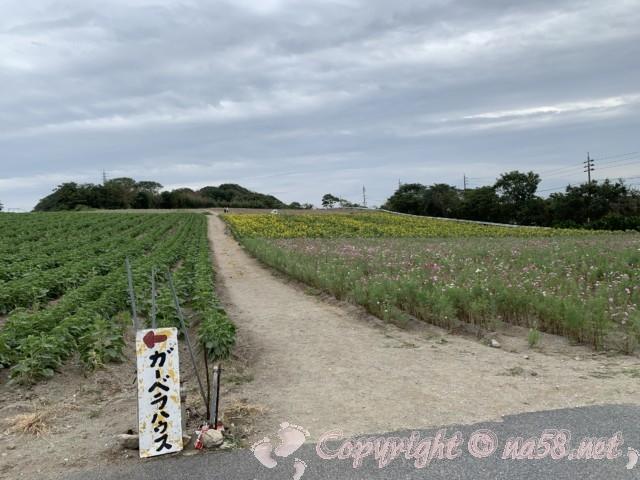 「観光農園花ひろば」(愛知県南知多町)、見頃を迎えたコスモスと満開のひまわり