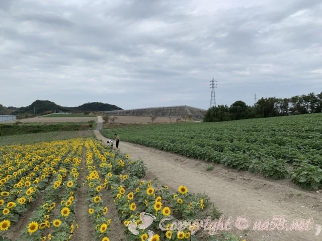 「観光農園花ひろば」(愛知県南知多町)ひまわり畑とカップル