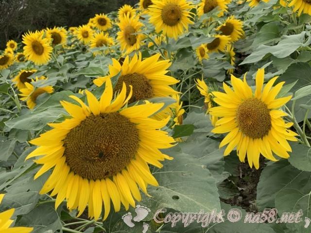 「観光農園花ひろば」(愛知県南知多町)満開のひまわり、虫がいるよ