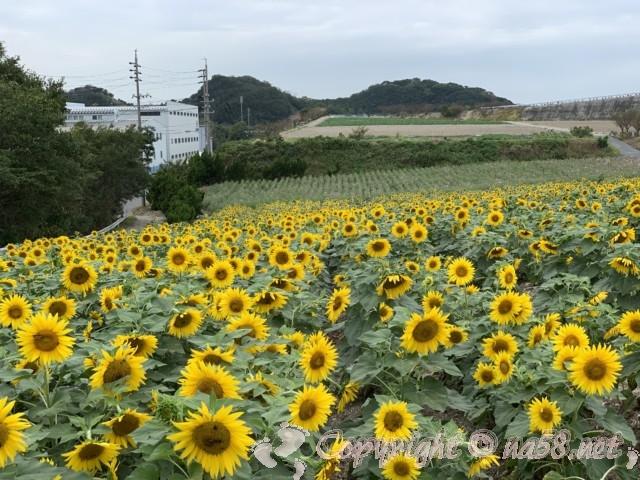 「観光農園花ひろば」(愛知県南知多町)満開のひまわり畑・2019年10月上旬