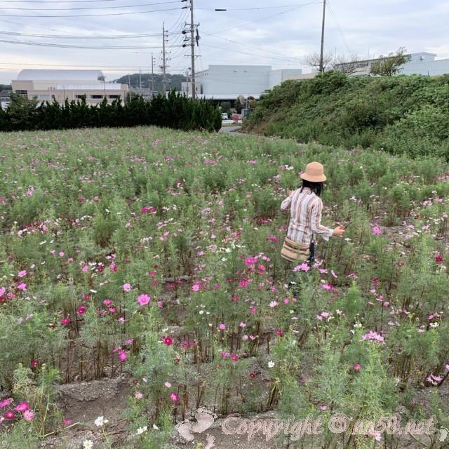「観光農園花ひろば」(愛知県南知多町)コスモス畑の中