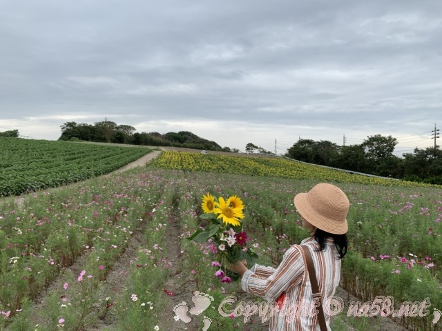 「観光農園花ひろば」(愛知県南知多町)ひまわり3本とコスモス3本切る