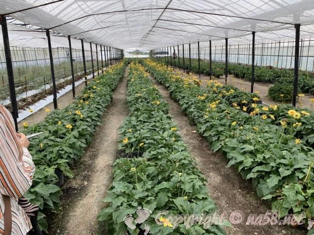 「観光農園花ひろば」(愛知県南知多町)ガーベラハウス