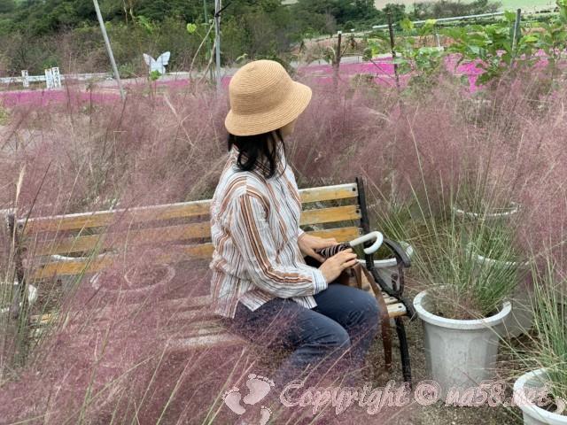 「観光農園花ひろば」(愛知県南知多町)鉢植えのピンクのススキ見ごろ