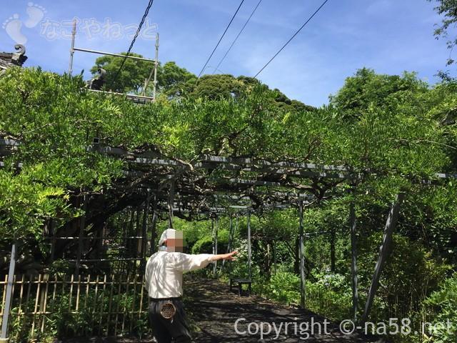 太江寺(三重県伊勢市)の大きな藤棚のところで説明されるお坊様