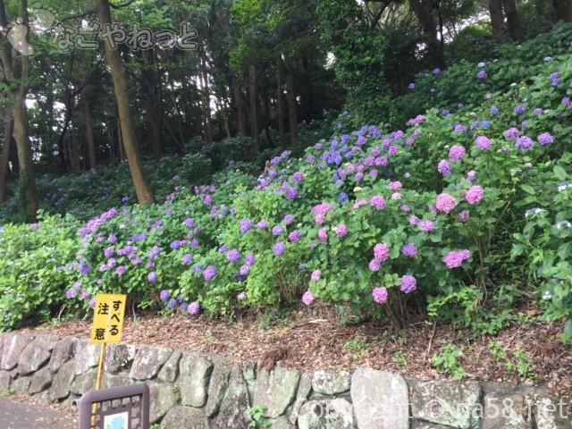 秋葉公園(静岡県牧之原市)のあじさい、すべる注意