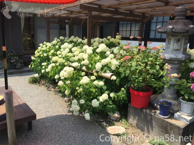 実谷山極楽寺(静岡県森町)のあじさい、本堂横は一段と白が鮮やか
