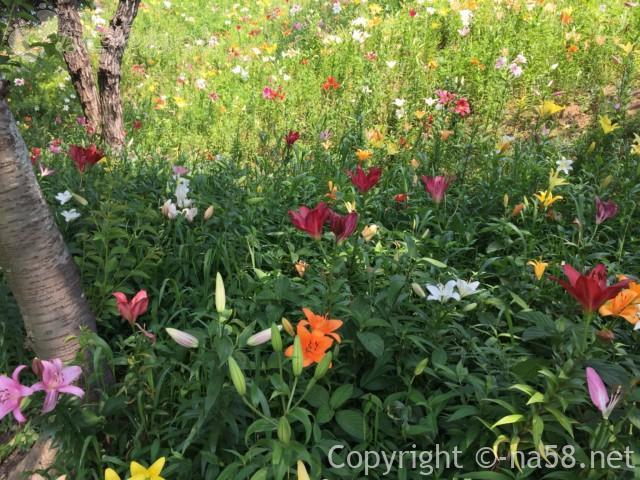 可睡ゆりの園(静岡県袋井市)の五色のゆりのじゅうたん広がる