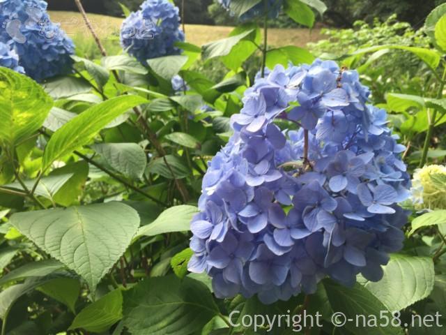 龍尾神社(静岡県掛川市)の花庭園内のあじさい
