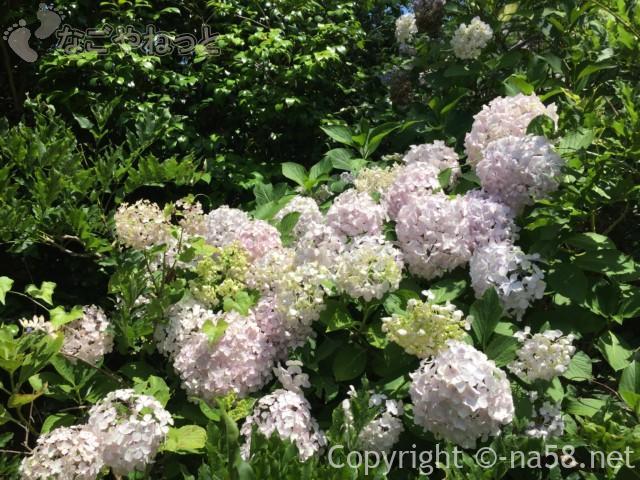 太江寺(三重県伊勢市)の白く咲くあじさい藤棚付近