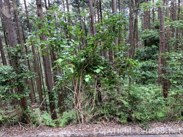 風土の森(静岡県河津市)にあるあじさいと森林