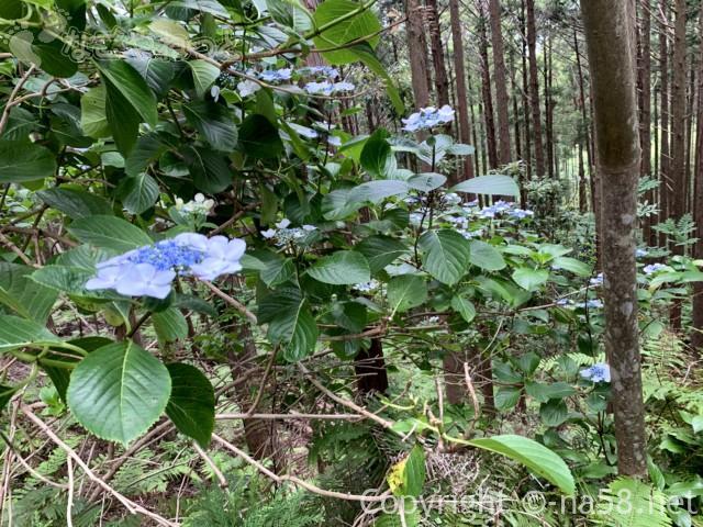 風土の森(静岡県河津市)にあるあじさいアップ