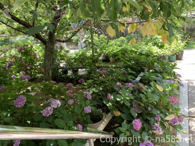 大慈寺(だいじじ)志摩のあじさい寺(三重県志摩市)の境内であじさいと河津桜の木