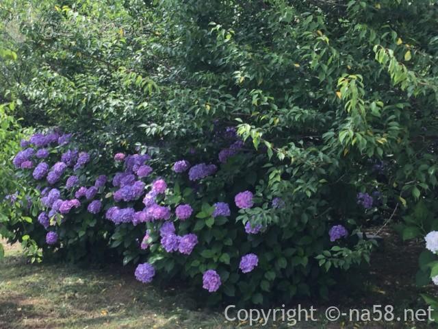 かざはやの里(三重県津市)のあじさい園、梅の青葉とのコントラスト