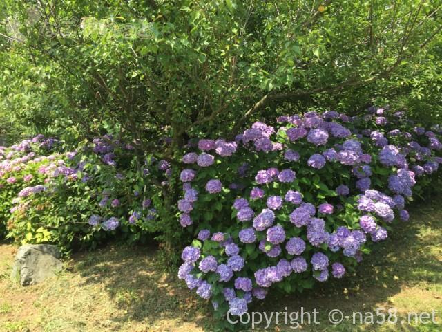 かざはやの里(三重県津市)のあじさい園、梅の青葉と