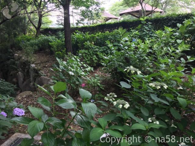 「万葉の里公園」(三重県いなべ市)のあじさい、木立の中