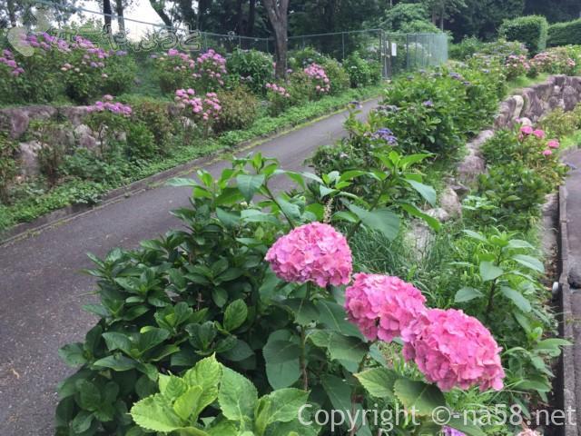 「万葉の里公園」(三重県いなべ市)駐車場の横のあじさいの小径