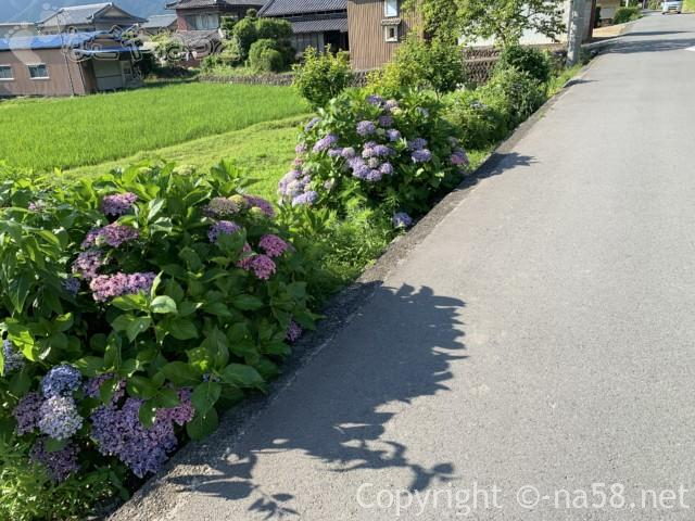 丹生神社の駐車場そばのあじさい(三重県多気町)
