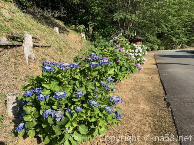 丹生大師の里付近のあじさい(三重県多気町)