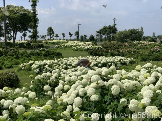 かざはやの里(三重県津市)のあじさい園、アナベル中心の花園