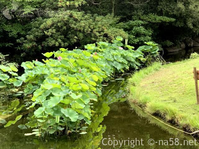 「白鳥庭園」(名古屋市熱田区)蓮がもうじき見頃に