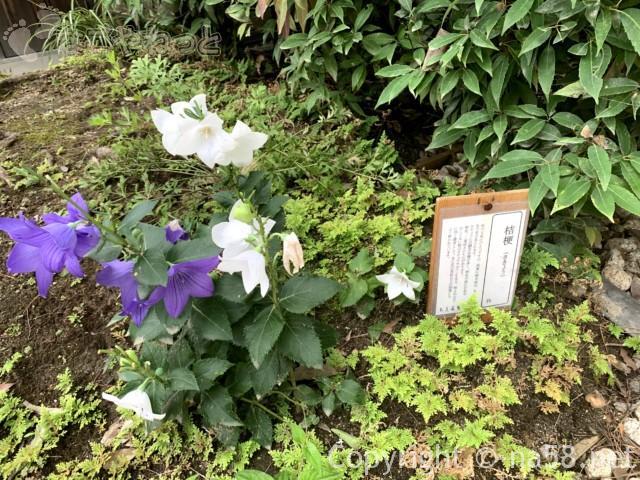 「白鳥庭園」(名古屋市熱田区)桔梗が見頃