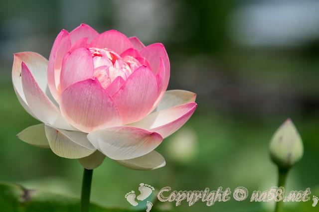 蓮 はすの花