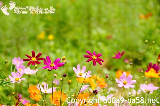 コスモスの花畑(花園)
