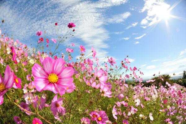 【なばなの里】秋の花まつりは三種類も鑑賞できる!期間/料金/駐車場(三重長島町)