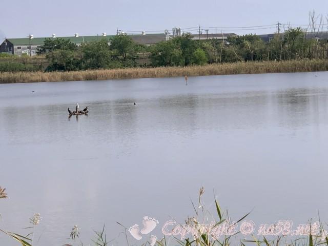 弥富野鳥園(愛知県弥富市)野鳥観察路突き当りにある観察窓から水鳥を見る