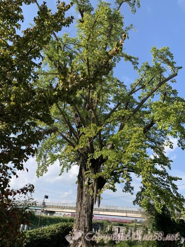 龍照院(愛知県蟹江市)にある豊臣秀吉お手植えの銀杏