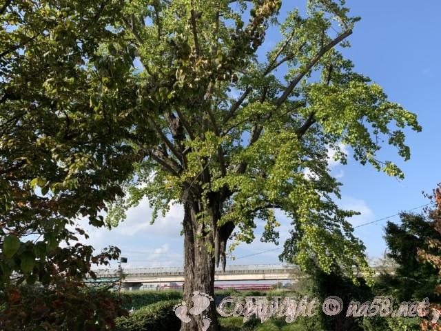 龍照院(愛知県蟹江市)にある豊臣秀吉お手植えの銀杏、乳銀杏