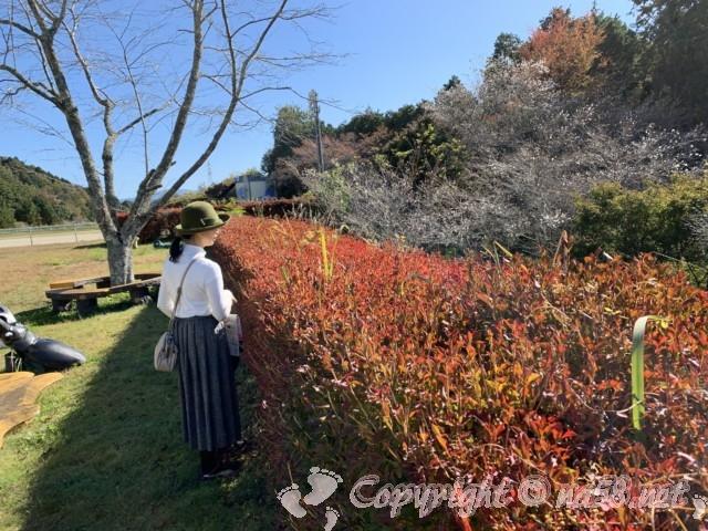 小原四季桜まつり(愛知県豊田市)四季の回廊ウォーキング、緑の公園の四季桜と紅葉