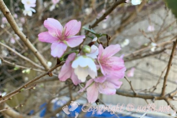 「小原の四季桜」愛知県豊田市、2019年11月12日現在2~3分咲き