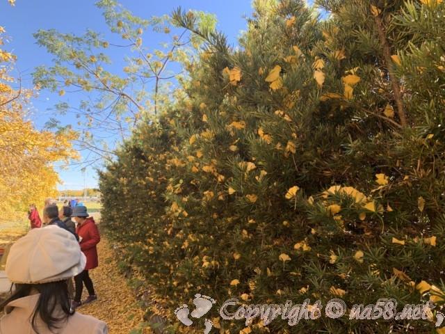 2019年11月29日のそぶえイチョウ並木と散った葉が緑の木々に