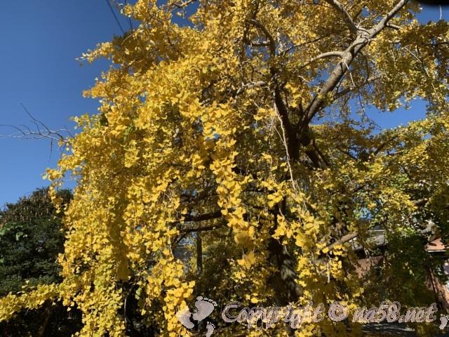 そぶえイチョウ黄葉まつり、久治イチョウの原木の門前のイチョウも巨大です