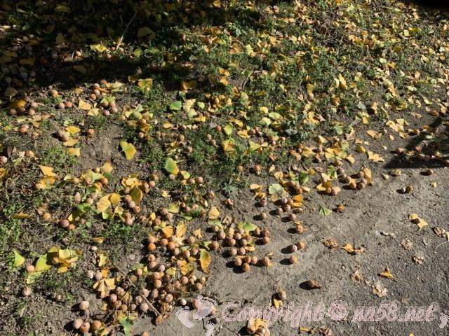 そぶえイチョウ黄葉まつり、道にギンナンがごろごろしているところも