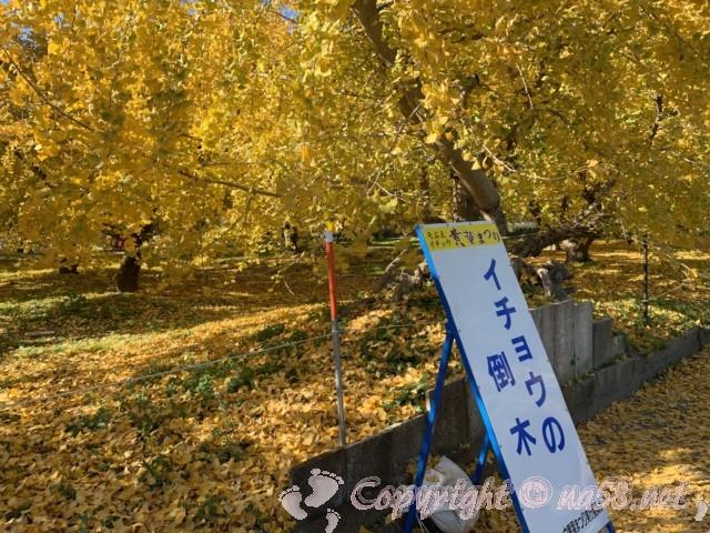 そぶえイチョウ黄葉まつり、銀杏の倒木