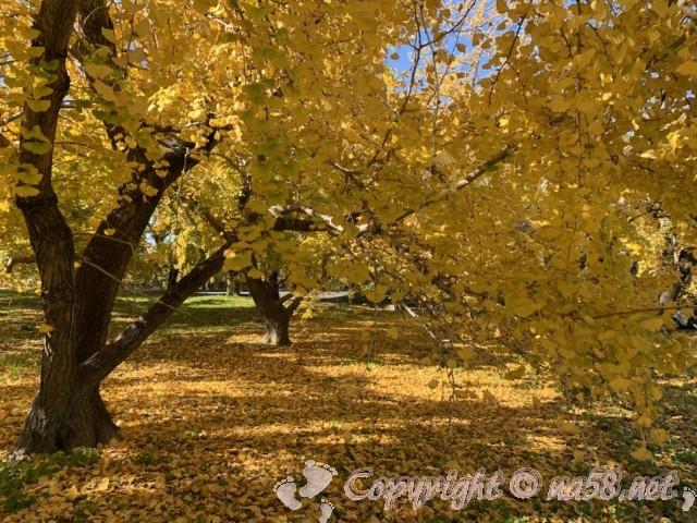 そぶえイチョウ黄葉まつり、黄金色の銀杏の木