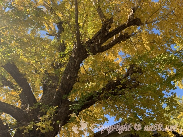 イチョウの乳根、樹齢200年、大きな乳根が