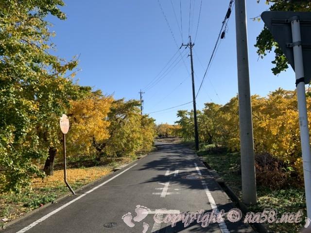 そぶえイチョウ黄葉まつり、散策路は黄金色の銀杏の木に囲まれる