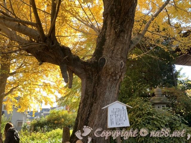 そぶえイチョウ黄葉まつり、祐専寺の境内、樹齢300年の銀杏