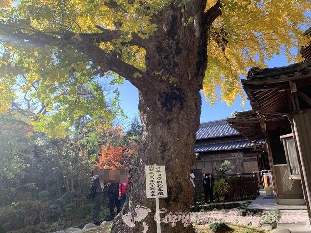 イチョウの乳根、樹齢200年(愛知県稲沢市そぶえ)