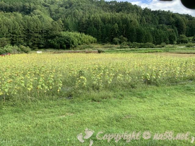 「道の駅信州平谷」(長野県平谷村)のひまわり畑