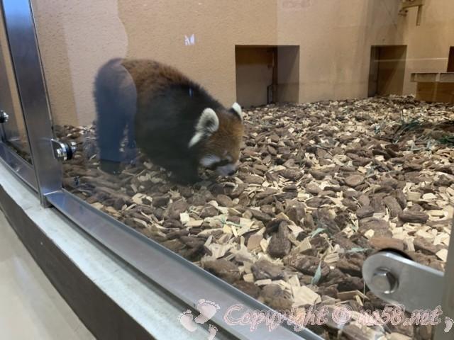 静岡市立日本平動物園(静岡県静岡市)レッサーパンダ