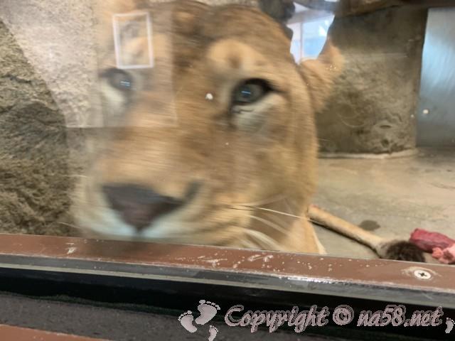 静岡市立日本平動物園(静岡県静岡市)ライオン