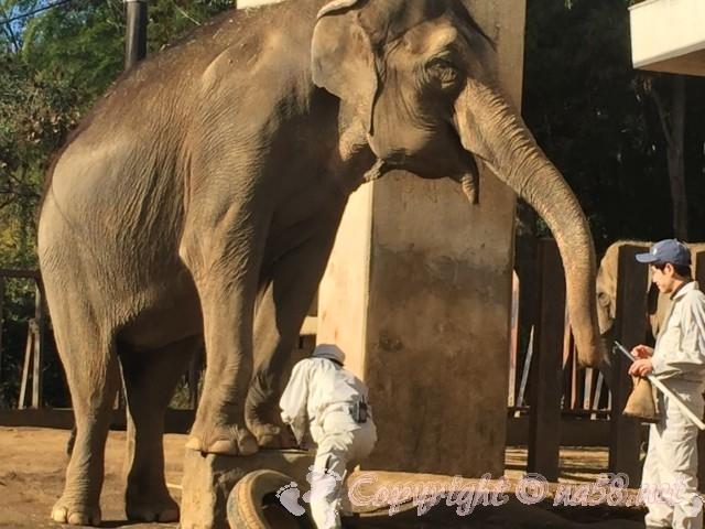 静岡市立日本平動物園(静岡県静岡市)アジアゾウのトレーニング中