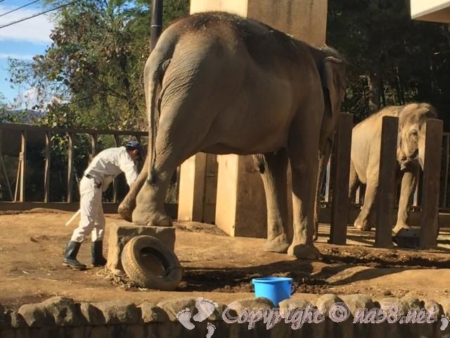 静岡市立日本平動物園(静岡県静岡市)アジアゾウのトレーニング
