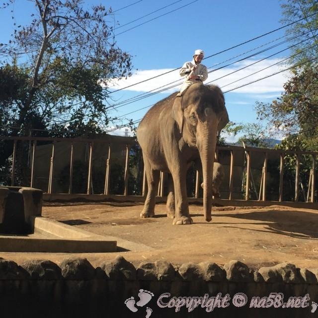 静岡市立日本平動物園(静岡県静岡市)アジアゾウのトレーニング、人をのせて